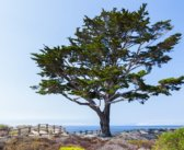 JOSEPH CAMPBELL GETS A TREE IN CARMEL-BY-THE-SEA